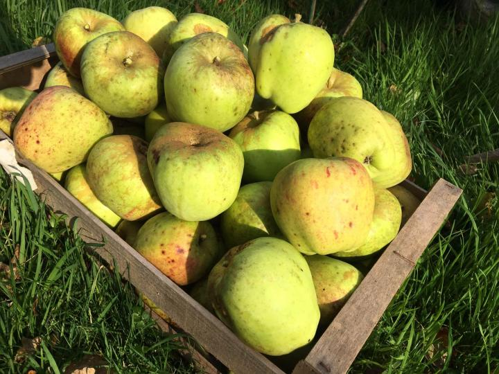 Apples from the Knapp House in Devon orchard